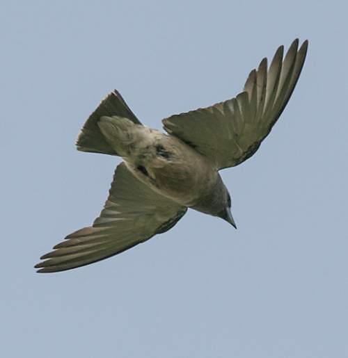 Indian birds - Image of Ashy woodswallow - Artamus fuscus