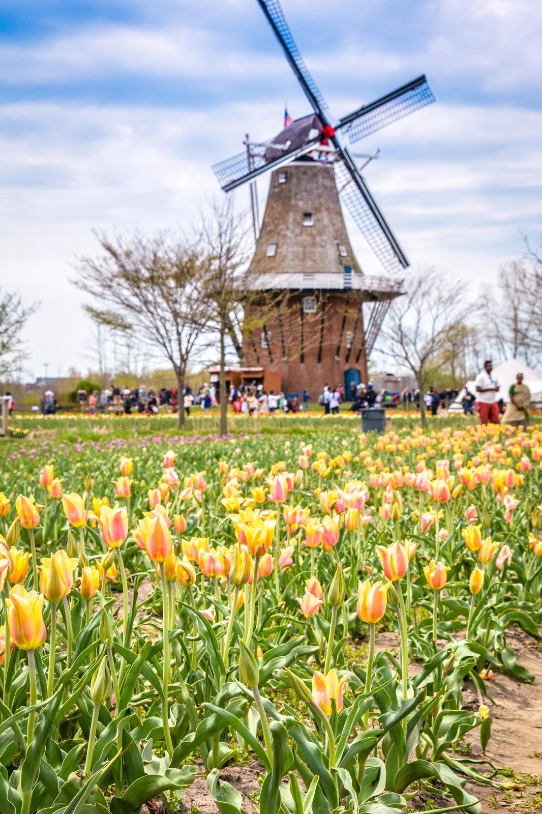 Windmill Gardens Tulips
