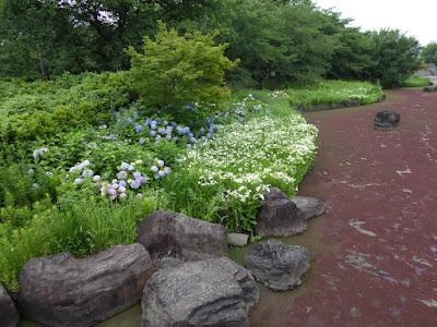 深北緑地の紫陽花(あじさい)