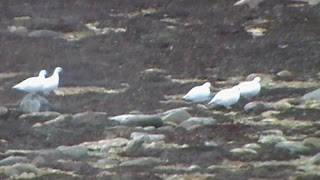 The Ptweet Ptweet of Ptarmigans on the Ptundra.