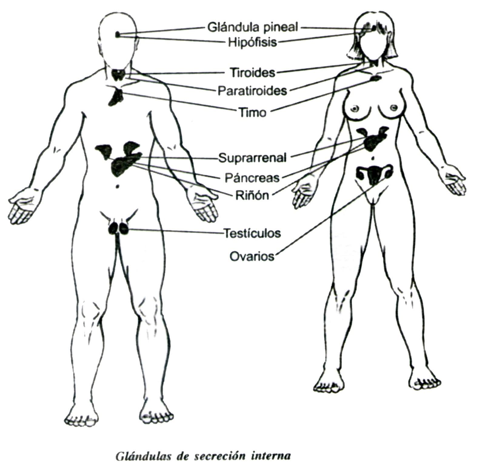 Glándulas de secreción interna: las hormonas que secretan y su papel ...
