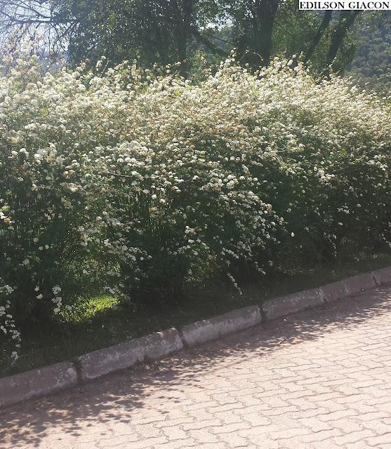 Viveiro ciprest plantas nativas e ex ticas buqu de for Cerca b b