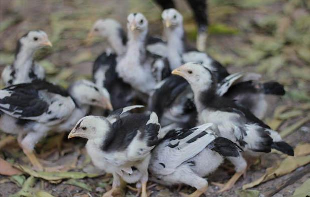 Membuat anak ayam menjadi gemuk dan cepat besar ialah hal yang sangat gampang Pakan Anak  yang Paling Baik dari Pengalaman Saya!