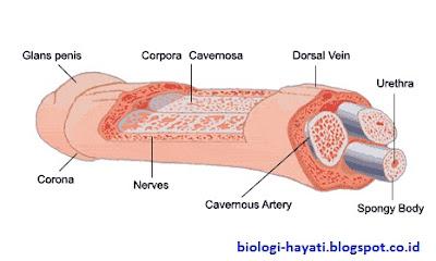 bagian-bagian penis
