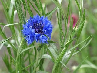 Centaurée bleuet - Centaurea cyanus