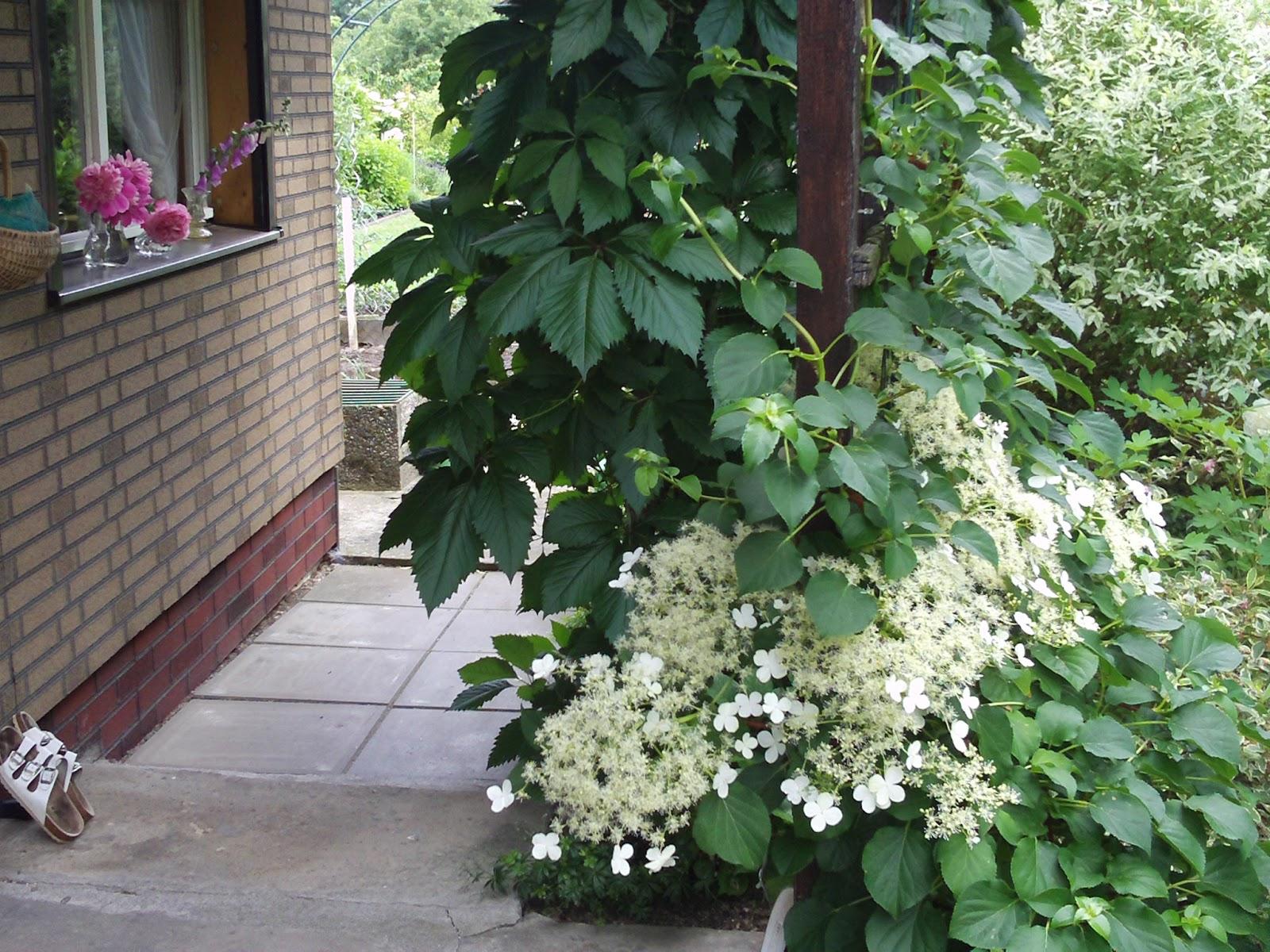 kletterhortensie hydrangea petiolaris gartenelfe. Black Bedroom Furniture Sets. Home Design Ideas