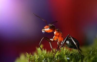Hormiga con macro lente