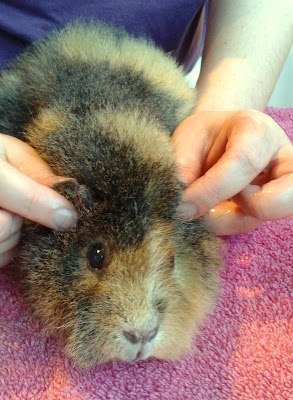 Apply Gorgeous Guineas Aloe Melt over Guinea Pig