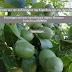 Ιωάννινα:Εκπαίδευση Με Θέμα Την Καλλιέργεια Της Καρυδιάς Και Της Αμυγδαλιάς