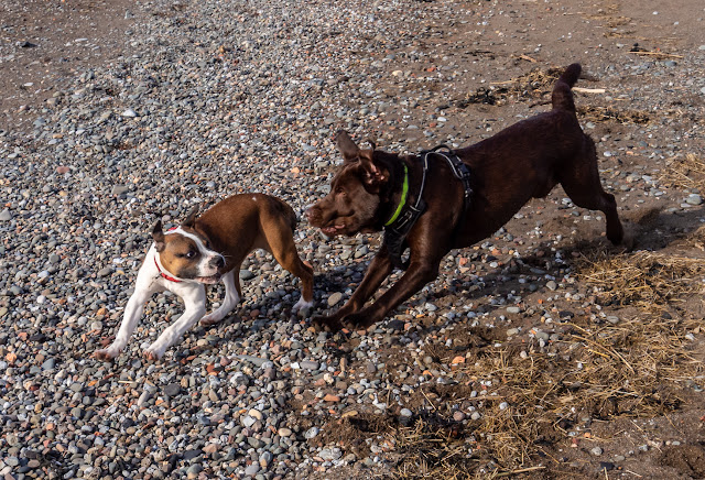 Photo of Ruby playing with Larry the chocolate labrador on the beach