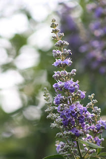 Vitex Vivero Growers Nursery Austin