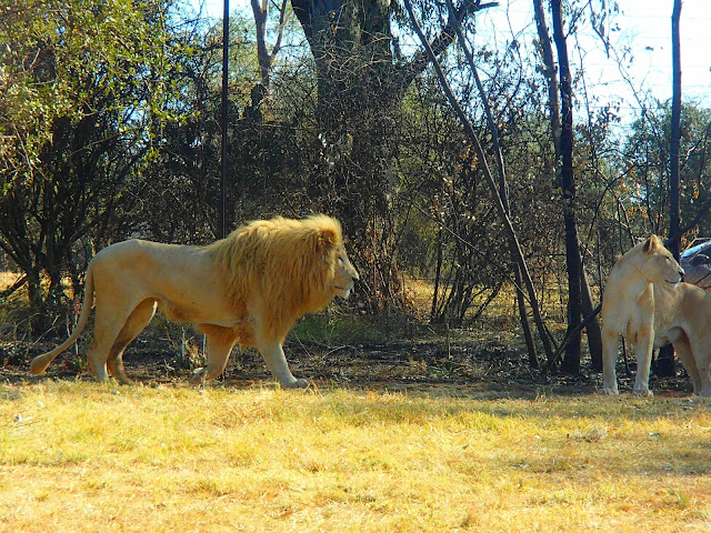 white lion of south africa