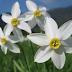 Narcisa albă, pe lângă rolul de plantă ornamentală, are şi câteva PROPRIETĂŢI TERAPEUTICE. Iată ce AFECŢIUNI vindecă