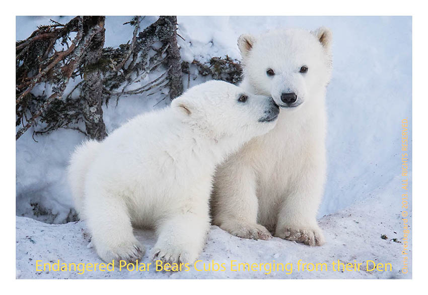 e3bae6a7493af I love watching polar bear babies playing with each other and interacting  with their moms  and