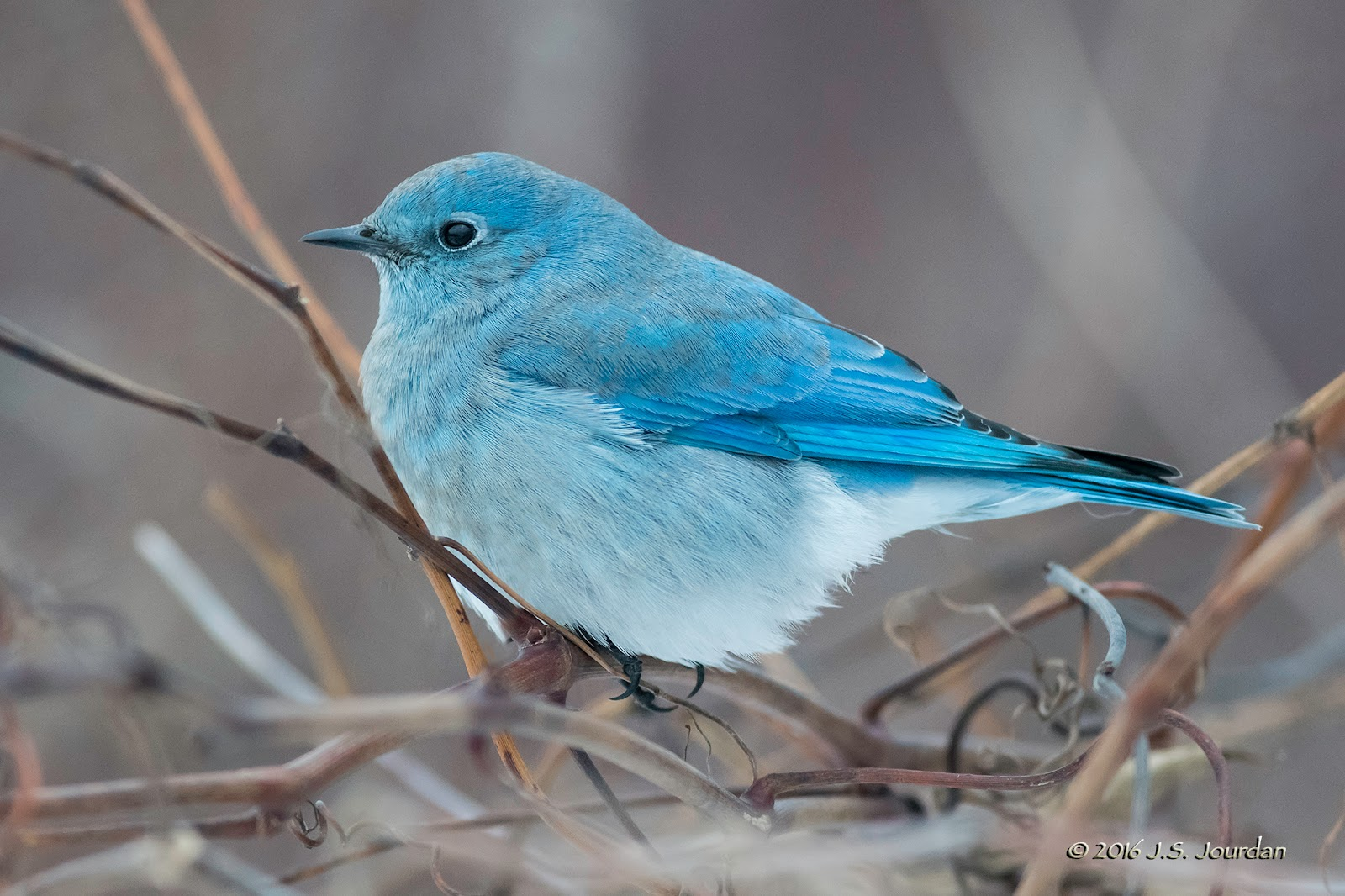 Jerry S Birding Digiscoping Blog Mountain Bluebird 12 Dec 2016