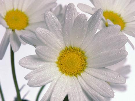 أحلى الألوان من زهور الأقحوان B-4871~1.JPG