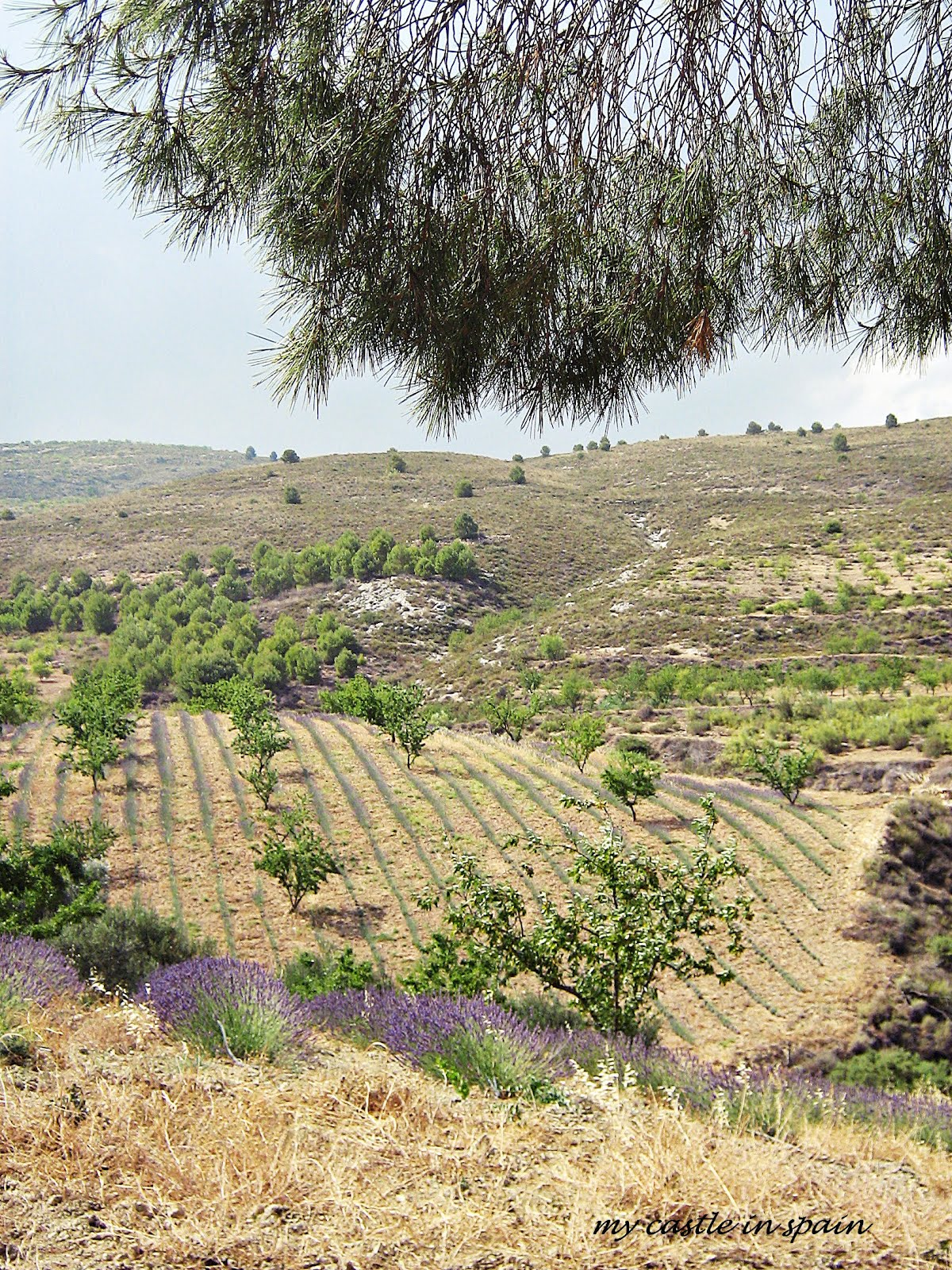 playing in a lavender field in andalucia. Black Bedroom Furniture Sets. Home Design Ideas
