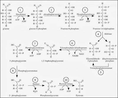 glikolisis