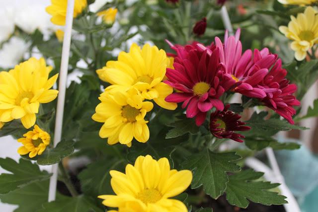 Gelbe und purpurne Blüten in unserer Hängeampel