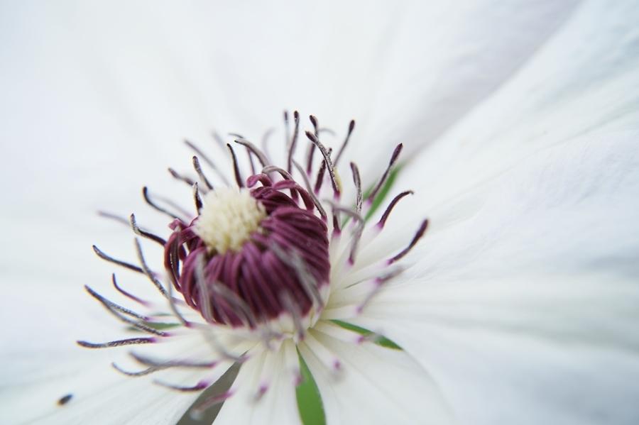 Blog + Fotografie by it's me! - Waldrebe Clematis - Blütenstaub auf einem Stempel