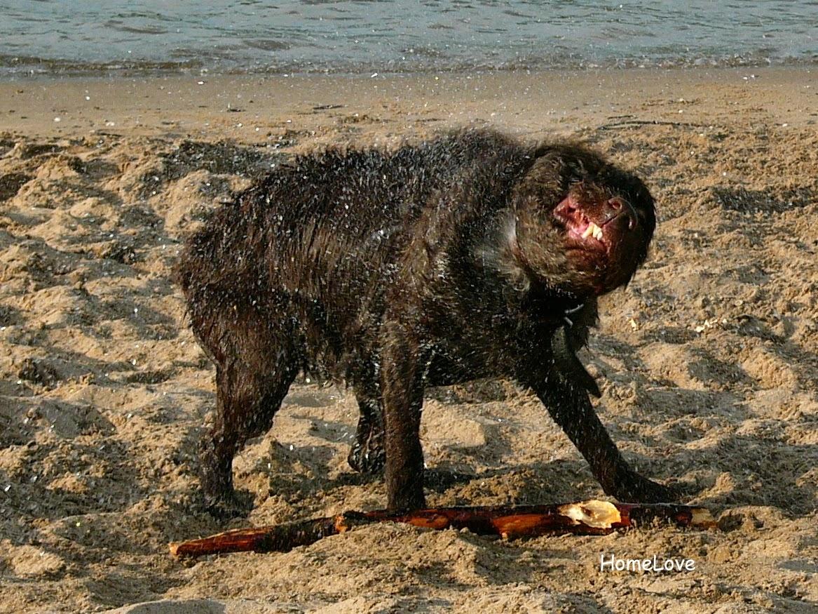 Zotteliger Hund