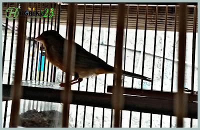 kali ini kita akan membahas salah satu burung yang bersuara merdu nan indah yaitu burung  Tips Mempertahankan Kualitas Suara Burung Kenari