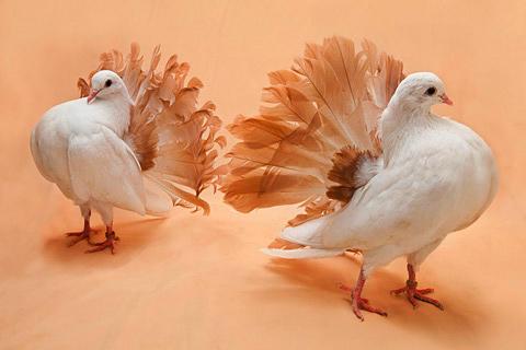 POMBO-CAUDA-DE-LEQUE - Ele, assim todos os pombos ornamentais, são utilizados para enfeitar sítios, pousadas, chácaras e outras áreas privadas,que recebem visitação.
