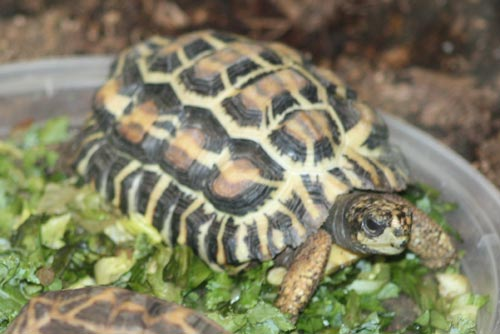 Flat-Tailed Tortoise