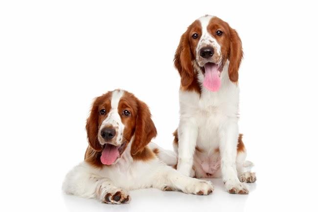 Psy rasy Springer Spaniel Walijski