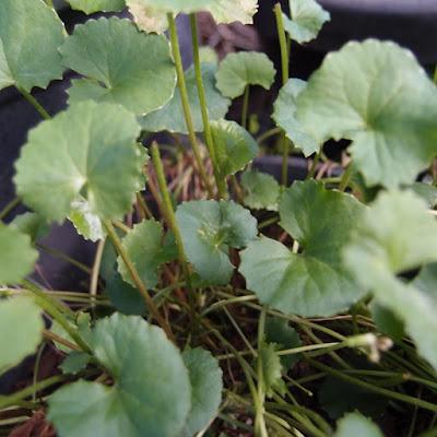 eight acres: how to grow and use gotu kola