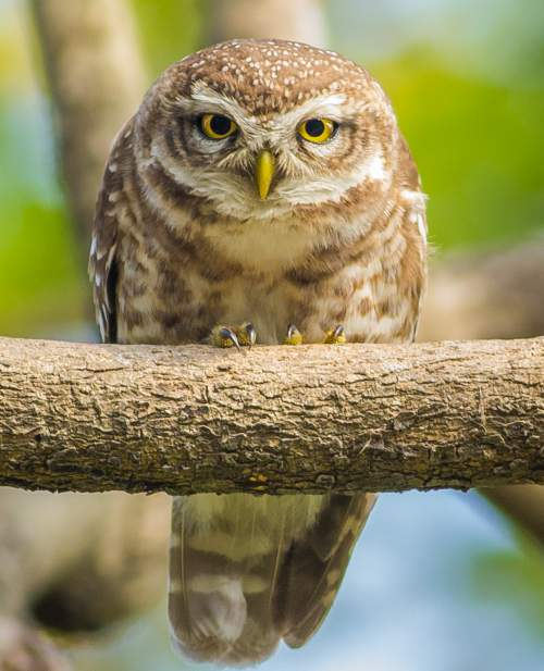 Indian birds - Image of Spotted owlet - Athene brama
