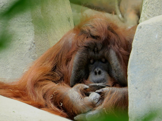 orang utan at Brookfield Zoo