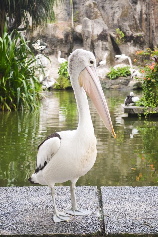 Zoo, Ragunan, Kebun Binatang di Jakarta Selatan, Burung Pelikan