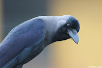 House crow, birds of karnataka