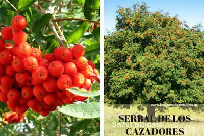 Sorbus aucuparia, recibe el nombre de Serbal de los Cazadores por haberse empleado sus frutos como cebo para cazar pajaros