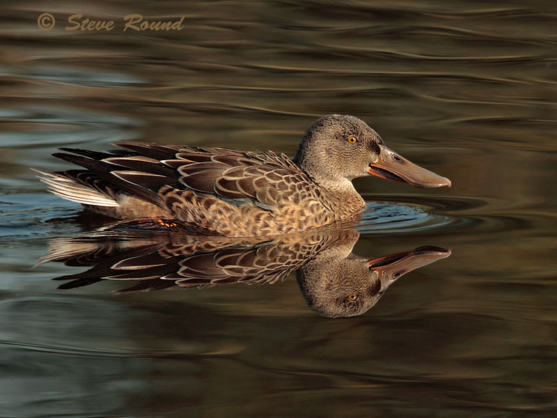 Shoveler, Duck, Bird