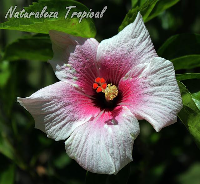 Flor de una especie de Hibisco, género Hibiscus