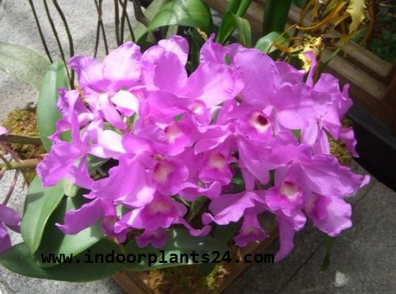 CATTLEYA indoor plant picture potted