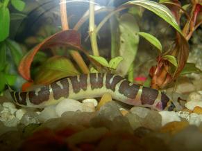 Culi (Acanthophtalmus kuhli )