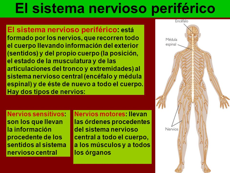 EL SISTEMA NERVIOSO | MY ENGLISH AND SCIENCE