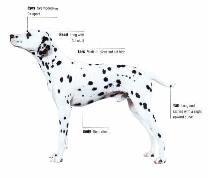 Fun Animals Wiki Videos Pictures Stories Dalmatian Dog