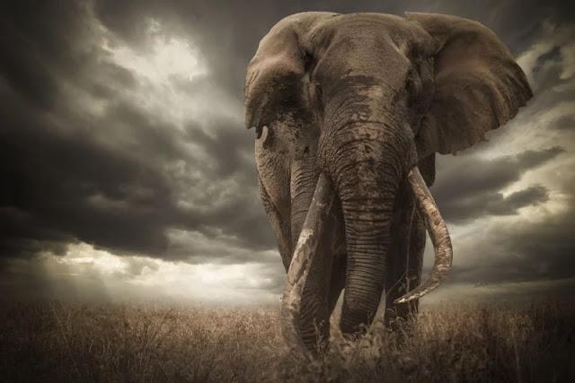 Vincitore dell'African Geographic squalificato a causa delle orecchie dell'elefante