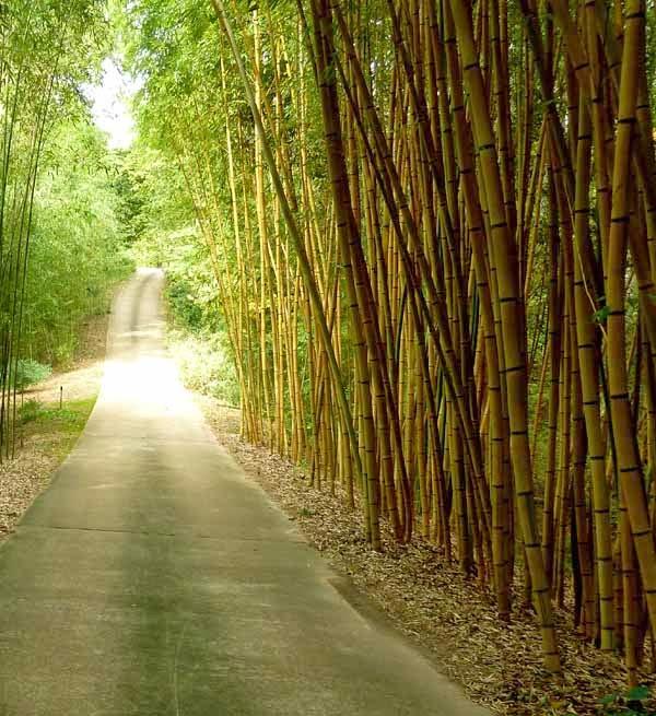 pagar-bambu-kuning