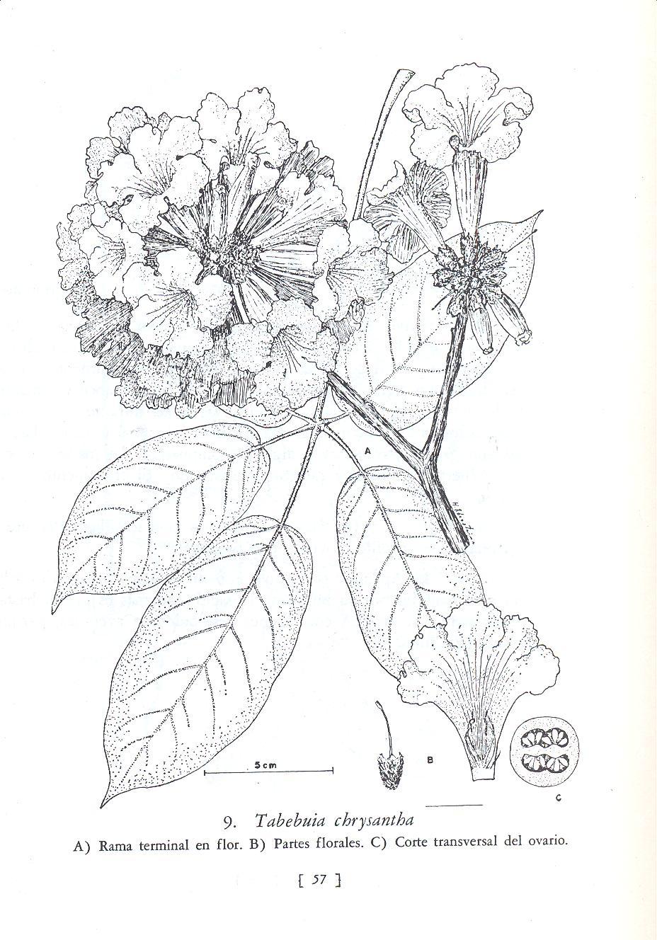 dibujo del araguaney dibujo araguaney araguaney dibujos