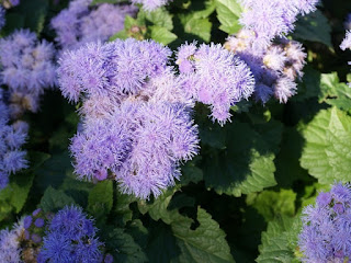 "Agérate du Mexique - Ageratum houstonianum ""Blue Diamond"""