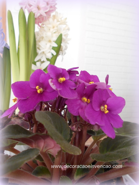violetas africanas, saintpaulia