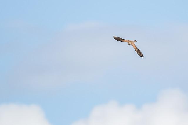 Swooping Kestrel
