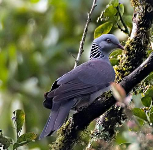 Indian birds - Image of Nilgiri wood pigeon - Columba elphinstonii