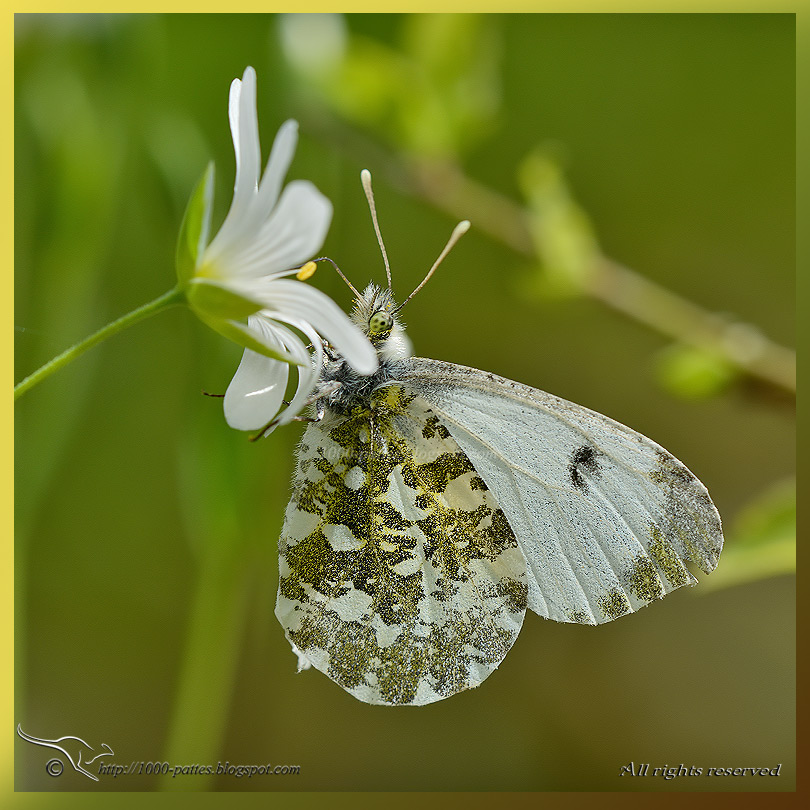 The Orange tip butterfly