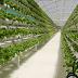 Kelebihan dan Kekurangan Sayuran Hidroponik di Dalam Greenhouse